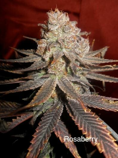 Rosaberry **HIGH  CBD** (AC/DC x DJ Short F4 Blueberry) 14 Regular Seeds