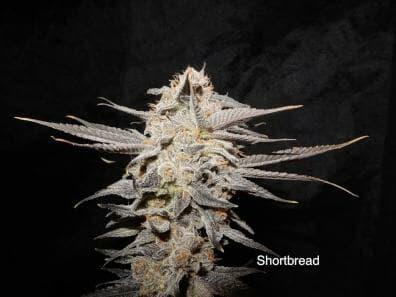 Shortbread (Lambsbread Sour Diesel x DJ Short F4 Blueberry) 14 Regular Seeds