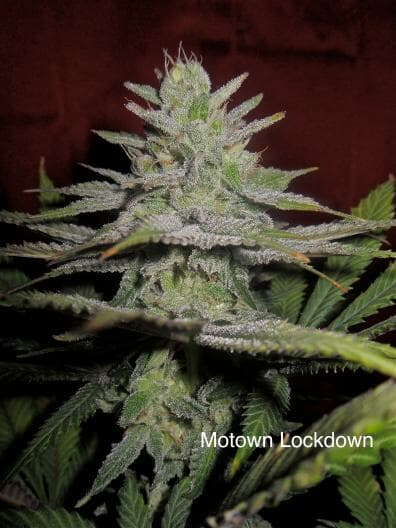 Motown Lockdown (Sacajawea #10B x DJ Short F4 Blueberry) 14 Regular Seeds