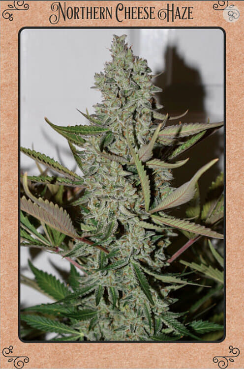 Northern Cheese Haze F4 Auto 7 Feminized Seeds