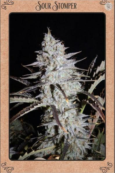Sour Stomper Auto 7 Feminized Seeds
