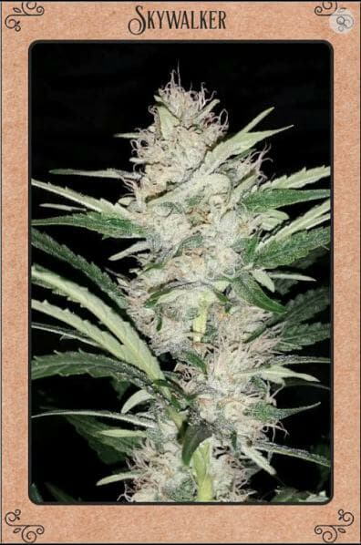 Skywalker F4 Auto 7 Feminized Seeds