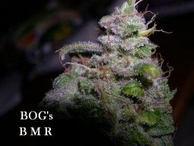 Blue Moon Rocks (Blue Moon x BOG Bubble) 13 Regular Seeds
