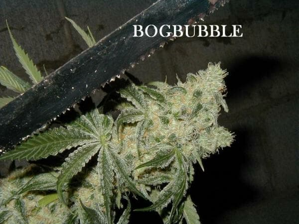 BOG Bubble 13 Regular Seeds