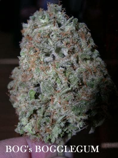 Bogglegum (BOG Bubble x Northern Lights #5) 13 Regular Seeds