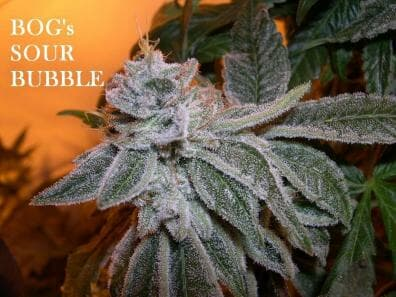 Sour Bubble 13 Regular Seeds