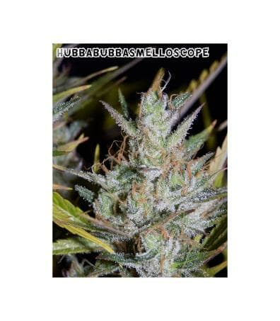 Hubbabubbasmelloscope (90's Bubblegum cut x Breeding Auto WC1) F5 Auto 3 Feminized Seeds