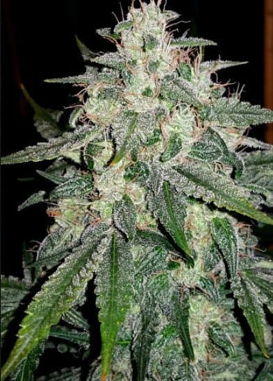 4 Assed Monkey F4 (Gorilla Glue #4 x Grape Crinkle F3) Auto 7 Feminized Seeds