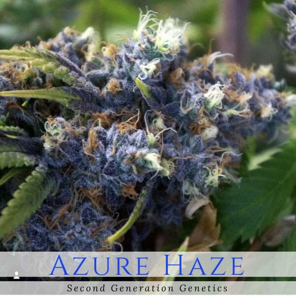 Azure Haze (Super Silver Haze x DJ Short F4 Blueberry) 14 Regular Seeds