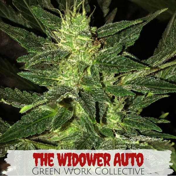The Widower Autoflower (White Widow x Deep Sea Creature) 7 Regular Autoflower Seeds