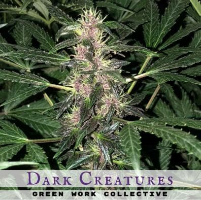 Dark Creatures Auto (Dark Devil x Deep Sea Creature) 7 Regular Autoflower Seeds