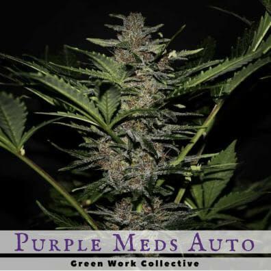 Purple Meds Autoflower (CBD Medi-GOM x Deep Sea Creature) 7 Regular Autoflower Seeds