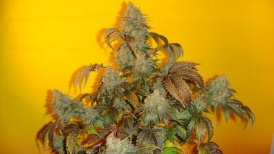 Old Time Indiana Bubble Gum (Indiana Bubble Gum x Old Time Moonshine) 10 Regular Seeds