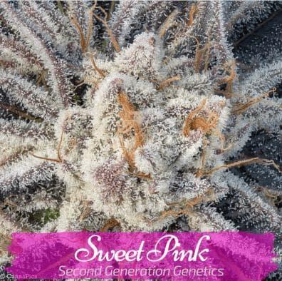 Sweet Pink (Pink Champagne x DJ Short F4 Blueberry) 14 Regular Seeds