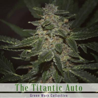 The Titanic Autoflower (Diesel x Deep Sea Creature) 7 Regular Autoflower Seeds