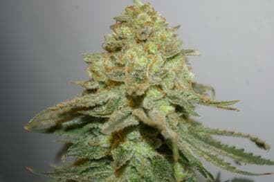 The Durban Special (Blueberry OG #3/Cookies & Cream x Durban Poison #7) 12 Regular Seeds