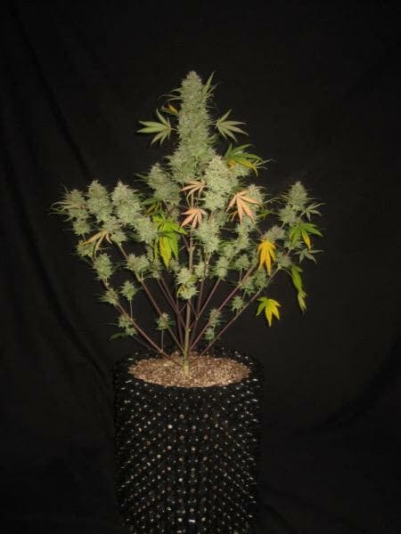 Bum Wine Auto (Hubbabubbasmelloscope x Tyrone Special) 5 Feminized Seeds