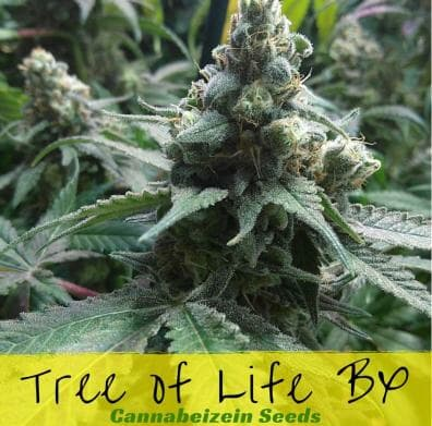 Tree of Life BX (Tree of Life x Second Sight) 10 Regular Seeds