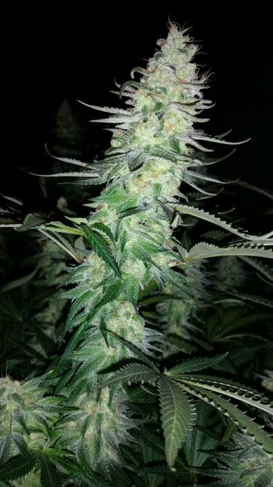Blue Tsi Fly (C4 x Cinderella 99) *LIMITED EDITION* 10 Regular Seeds