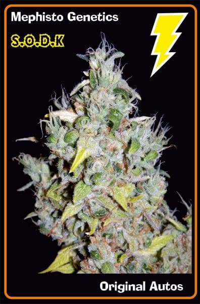 S.O.D.K (Orange Diesel x Sour Orange Male) 7 Feminized Seeds