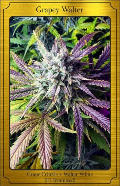 Grapey Walter Auto (Grape Crinkle x Walter White) 7 Feminized Seeds (LIMITED EDITION)
