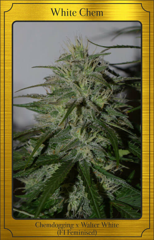 White Chem Auto (Walter White x Chemdogging) 7 Feminized Seeds (LIMITED EDITION)