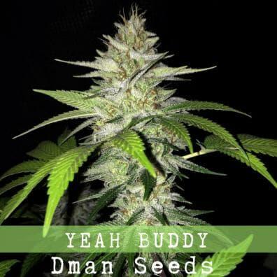 Yeah Buddy F2 (Kali Mist x Bubblegum x X13 x Thai) 15 Regular Seeds