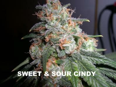 Sweet & Sour Cindy (BOG Sweet Cindy x BOG Sour Bubble) 13 Regular Seeds