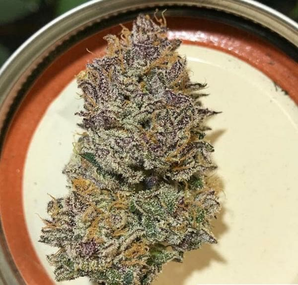 Tropicanna Cookies F2 (Tropicanna Cookies F1 x Tropicanna Cookies F1) 12 Regular Seeds