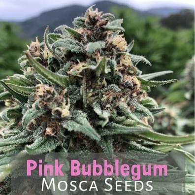 Pink Bubblegum (Indiana Bubble Gum x Pink 2.0) 10 Regular Seeds