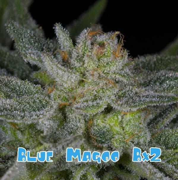 Blue Magoo Bx2 10 Regular Seeds