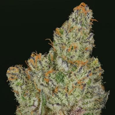 Divina Obscura (Charlotte's Web x Ms.Universe) 10 Regular High CBD Seeds