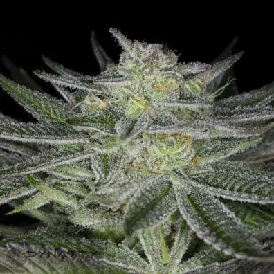 Huckleberry Kush v3 (Oregon Afghani x Huckleberry 2014) 10 Regular Seeds