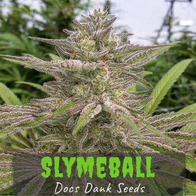 Slymeball (Chernobyl x Professor Moriarty) 10 Regular Seeds