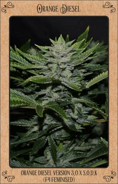 Orange Diesel F4 (Orange Diesel V3.0 [Lady Sativa Genetic]) x S.O.D.K [Sour Orange Diesel Kush]) 7 Feminized Seeds