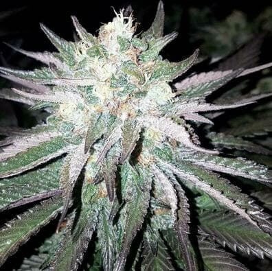 Lambs Pupil (Star Pupil x 90s Lambsbread) 12 Regular Seeds