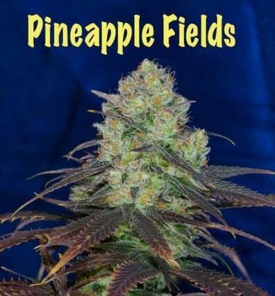 Pineapple Fields (Kali Snapple x Ms.Universe #10) 10 Regular Seeds