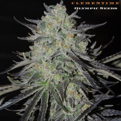 ClemenTime (JillyBean x HammerTime) 11 Regular Seeds