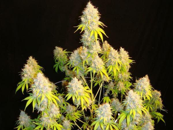 Indiana Bubble Gum S1 8 Feminized Seeds