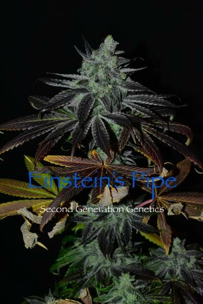 Einstein's Pipe (Goji Raz F2 x DJ Short F4 Blueberry) 14 Regular Seeds