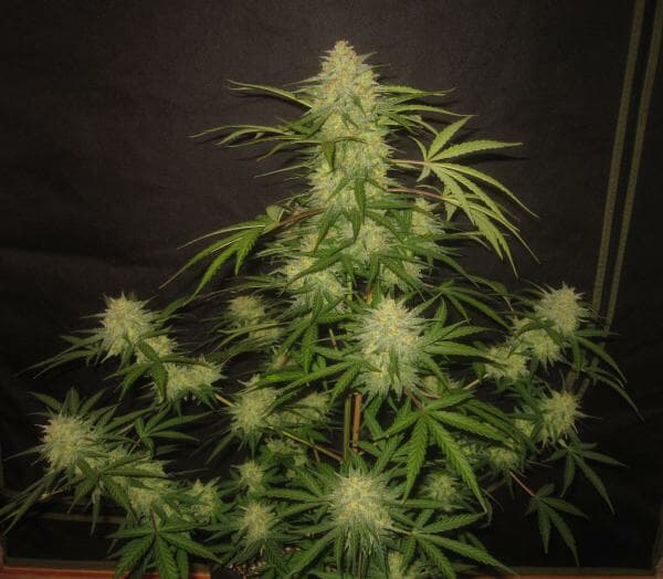 Alpha Wave (Cognition Amplifier f4 Auto [White Widow XXL x Zapotec] x Nami [Bum Wine x Witch Doctor]) 5 Feminized Autoflower Seeds