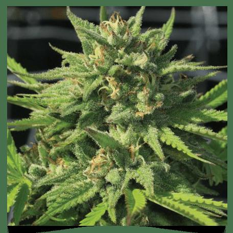Bigfoot Glue F4 (Humboldt Headband x GG#4) 10 Feminized Seeds